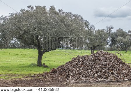 Holm Oak Firewood Obtained From Pruning. Traditional Dehesa Forestry Practices, Extremadura, Spain