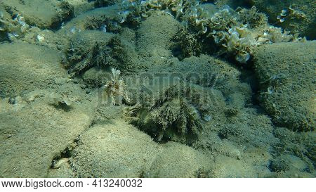 Common Cuttlefish Or European Common Cuttlefish (sepia Officinalis) In A Protective Pose Undersea, A