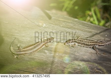 Two Viviparous Lizards (zootoca Vivipara) Sit On An Old Dry Log And Bask In The Sun. Polymorphism Of