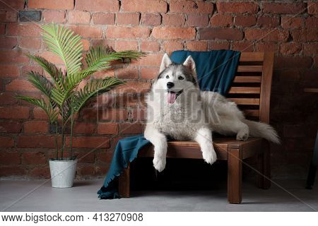 Dog In The Interior Of The Loft. Siberian Husky Lying On A Chair