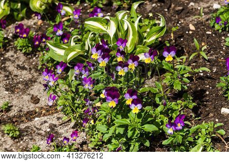Pansies Flowers In A Flower Bed. Very Delicate And Interesting Colors
