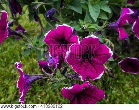 Petunia ,petunias In The Tray,petunia In The Pot, Mixed Color.