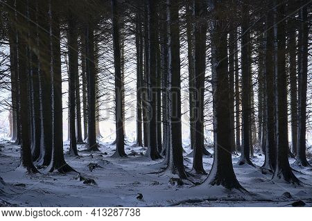 Beautiful Winter View Of Spruce And Fir Tree Trunks In Ticknock Forest National Park, Co. Dublin, Ir