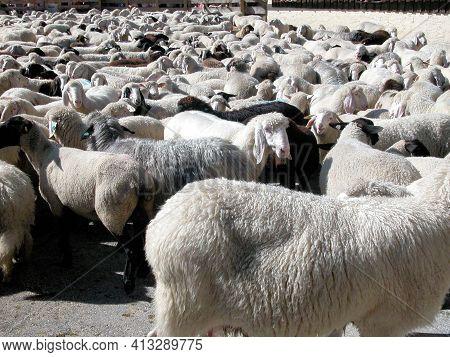 A Grazing Flock Of Sheep
