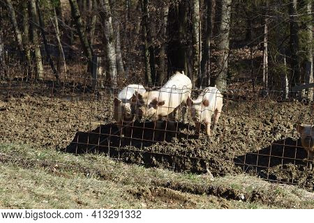 Species Appropriate Animal Husbandry And Animal Welfare For Pigs