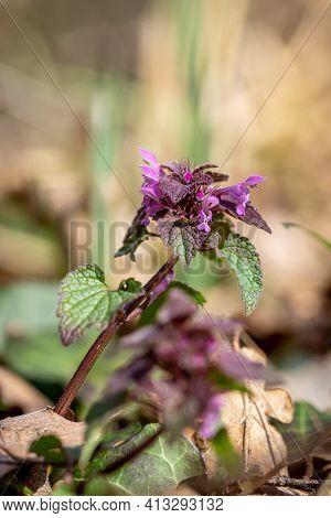 Purple Dead-nettle Or Purple Archangel (lamium Purpureum) Meadows Flower
