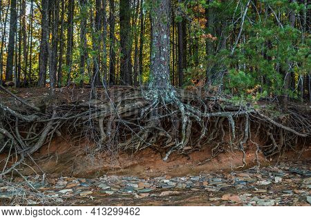 Eroded Shoreline At Lake Lanier In Georgia Exposing A Large Mature Tree Roots Anchored Into The Grou