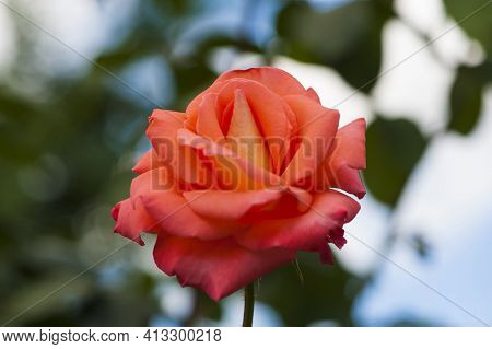 Background Rose Flower. Beautiful Delicate Pink Rose Flower. Garden Pink Rose On A Blurred Backgroun