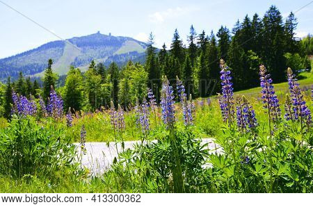 Blooming lupine flowers with mount Grosser Arber in National park Bayerischer Wald, Germany. Spring landscape.