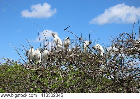 Brood Of Wood Storks In A Tree Nesting.