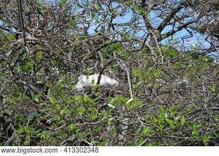 One Wood Stork Sits On The Nest.