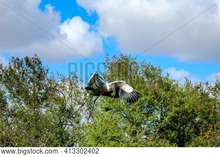 Wood Stork Carries Stick To Nest In Flight.