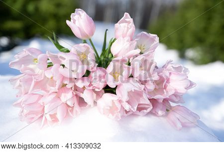 Bunch, Bouquet Of Pink Beautiful Pastel Tulips, Flowers On White Snow. Hello, Welcome Spring Concept