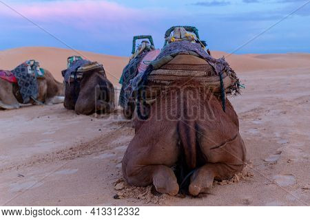 Camels Resting In The Sahara Desert On The Sand. Back View, Evening Time, Travel Background. Tail An