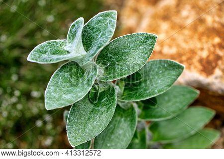 Close-up Of Perennial Evergreen Herbaceous Tradescantia Sillamontana In The Summer Garden. Macro Hot