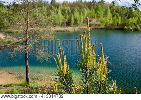 Blooming Pine Buds On The Background Of The Lake On A Clear Summer Day. Background
