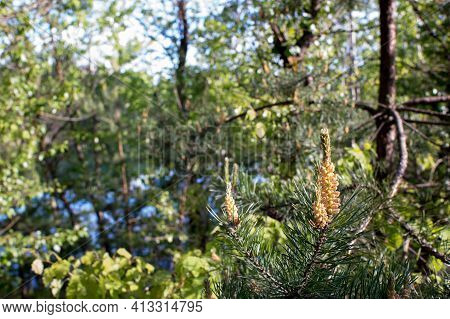 Blooming Pine Buds On The Background Of The Forest And Lake On A Clear Summer Day. Background