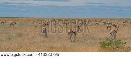The Springbok Medium-sized Antelope Stay In The Savanna At The Etosha Pan. Etosha National Park