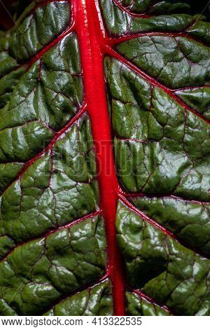 Close-up Of Red-yellow Stemmed Chard In The Summer Time Vegetable Garden. Macro Photography Of Livel