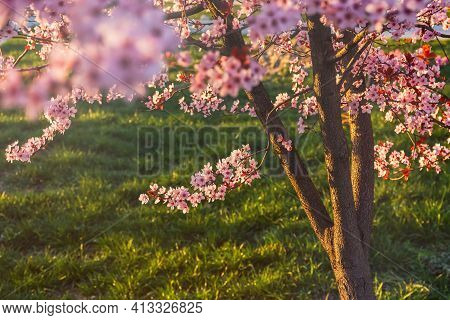 Beautiful Spring Pink Plum Blossom Background. Decorative Flowering Tree In The Garden. A Dreamy Rom