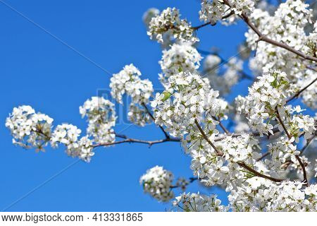 White Pear Blossoms In Spring On Blue