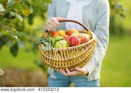 Basket Full Of Fresh Organic Apples. Harvesting Apples In Apple Tree Orchard In Summer Day. Picking