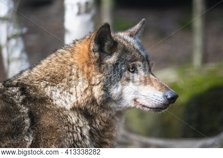 Close-up Portrait Of The Grey Wolf In The Forest. Adult Timber Wolf (canis Lupus) With Blurred Birch