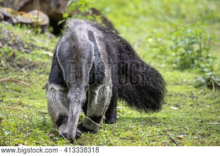 Giant Anteater Walking On The Green Grass With Its Head Down. Furry Ant Bear (myrmecophaga Tridactyl