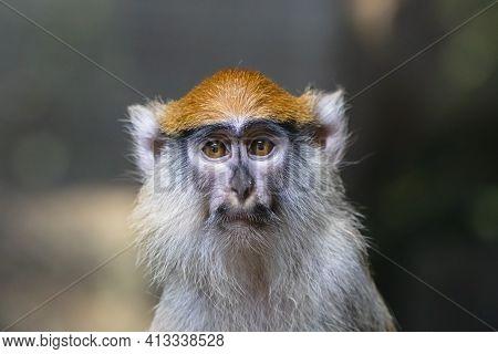 Sad Patas Monkey Close Up Portrait. Frightened Hussar Monkey (erythrocebus Patas) With Black Moustac