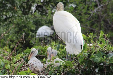 Wood Storks Nest In Trees Above Standing Water. Males And Females Gather Sticks From The Surrounding