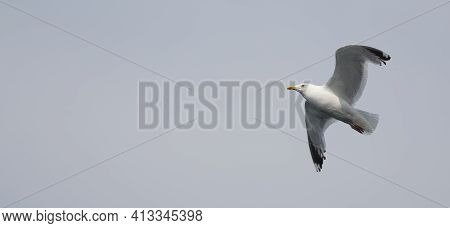 Seagull Flying In The Cloudy Sky. Close-up. Copy Space For Text. Banner.