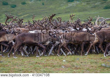 Walking Reindeer Herd Close-up. Yamal, Polar Urals