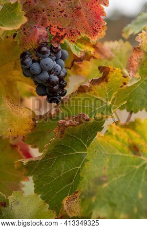 Rotten Red Grapes Infected With Botrytis On The Grape Vine