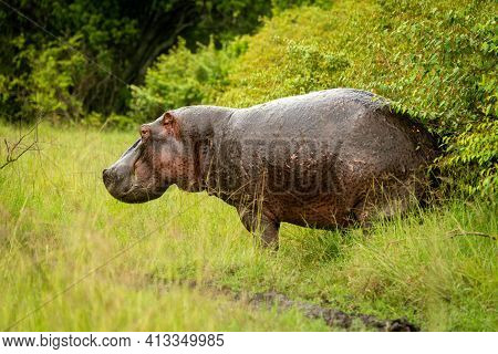 Hippo Stands By Bushes Watching Camera Cautiously