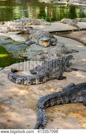 American Crocodile Crocodylus Acutus With An Open Mouth In Million Years Stone Park And Pattaya Croc
