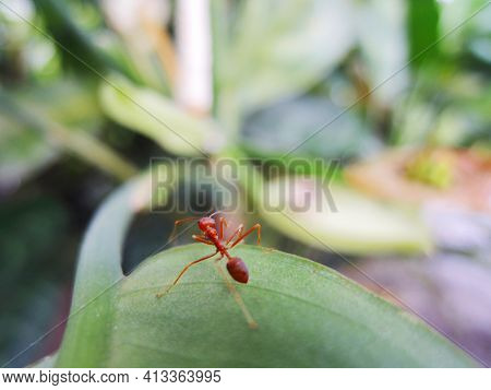 Ant Closeup (red Ant) Image And Photo