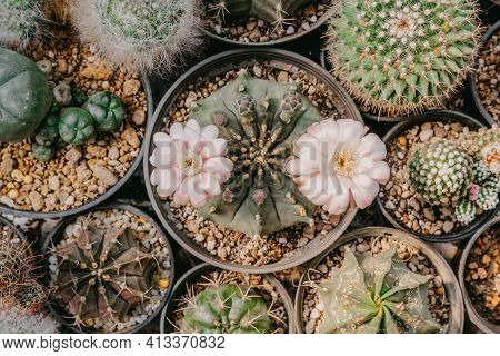 Top View Of Cactus Flowers, Gymnocalycium Sp. With Two Pink And White Flower Is Blooming On Pot, Suc