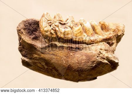 Part Of The Lower Jaw Of The Auvergne Mastodon (latin: Anancus Arvernensis) Is Isolated On A White B