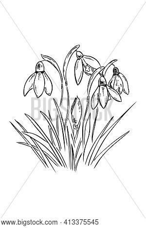 Sketch Illustration Vector Group Of Snowdrop Flowers Illustration In The Graphics. Black And White S
