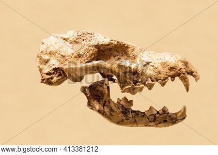 The Skull Of The Giant Hyaenictitherium (latin: Hyaenictitherium Hyaenoides)) Isolated On A White Ba