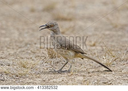 View Of A Curve-billed Thrasher, Oxostoma Curvirostre, Calling