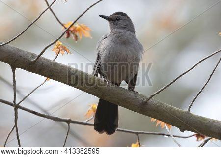 A Gray Catbird, Dumetella Carolinensis, Perched In Tree