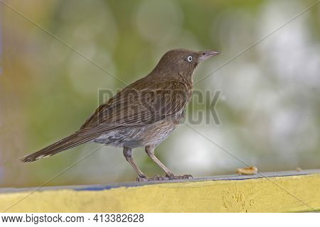A Pearly-eyed Thrasher, Margarops Fuscatus, From The Caribbean