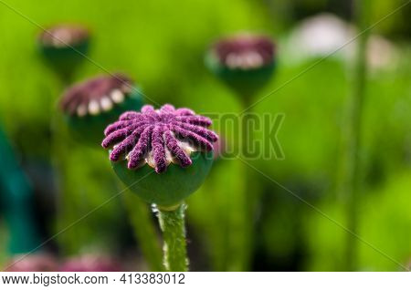 Large Unripe Poppy Heads In Early Spring On A Warm Sunny Day, Bright Beautiful Background.