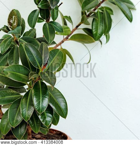 Dark Green Leaves Wild Fig Tree Plant, Ficus Species The Tropical Rainforest Tree On Wall Background