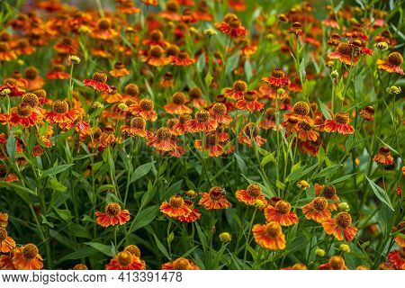 View Of Yellow-orange Helenium  Flowers On The Summer Meadow. Photography Of Lively Nature.
