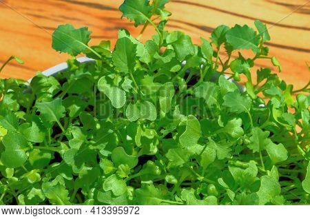 Kale Microgreens In A White Bowl Over Wooden Board. Growing Green Shoots Of Leaf Cabbage, Seedlings