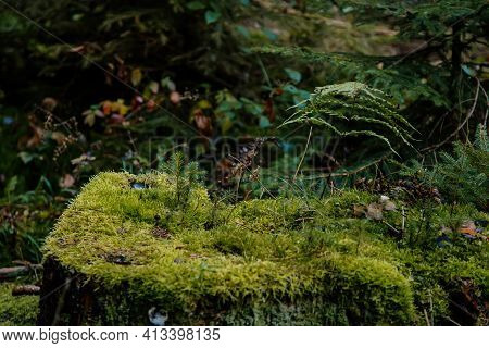 Stump Covered With Wet Green Moss In Dense Autumn Forest, Tree Sprouts Breaking Through The Bud, Clo
