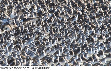 Hundreds Of Plovers Together On A Beach Packed In Tightly Together With Birds On The Left Starting T