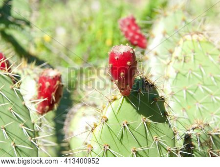 Close Up Of Red Flower Prickly Pear Cactus Fruit On The Cacti. Thefruitof Prickly Pears Is Edible,